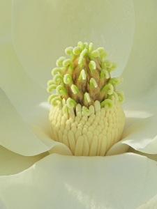 Inside the Magnolia Flower