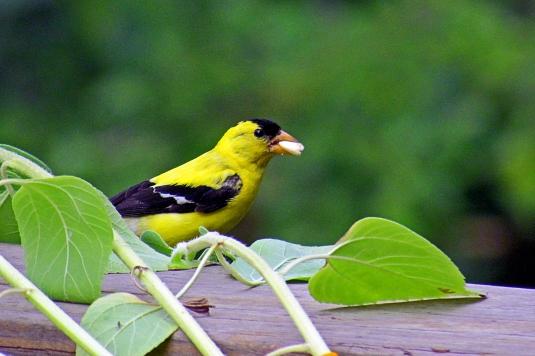 Male Goldfinch bird
